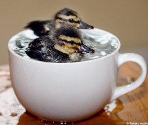 Cute-Ducks-l