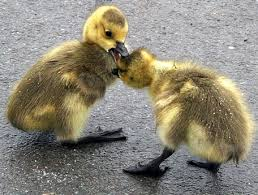 cute fighting ducks